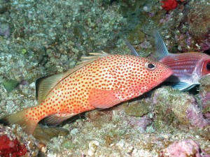 A red hind grouper on coral reef habitat.