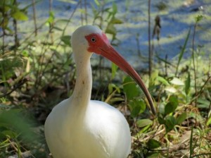 Wading bird populations, such as the White Ibis, are key indicators of an ecosystem's overall health